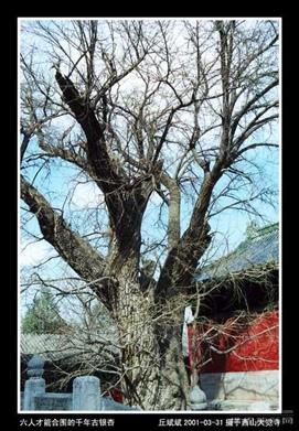 关于银杏树的手抄报