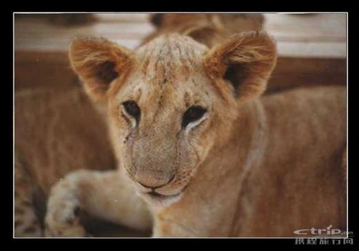 武汉野生动物园-小狮子