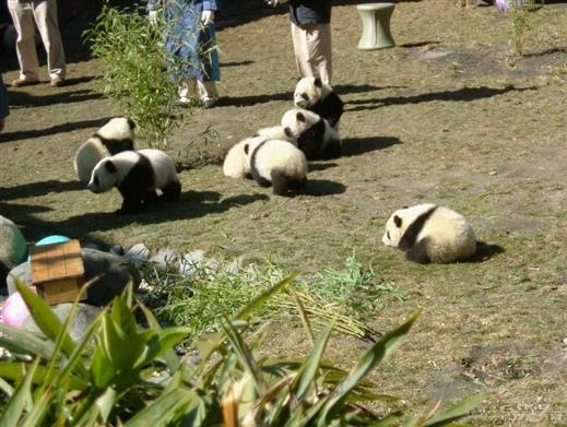 熊猫宝宝上幼儿园的第一天