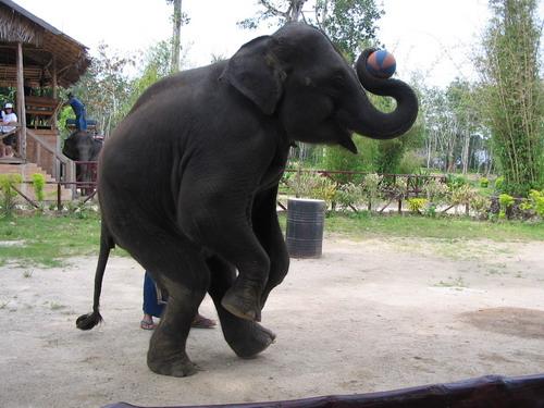 壁纸 大象 动物 狗 狗狗 500_375