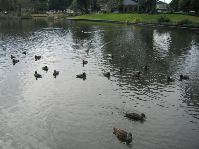 湖里的野鸭子就突然象舰队一