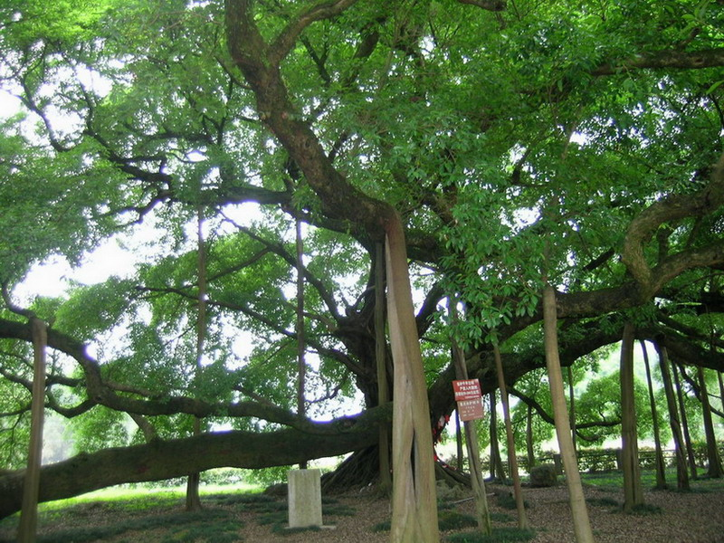 福州市树——榕树; 千年榕树千年神灵;