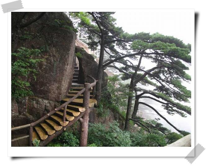 大型崖豆藤盆景图片