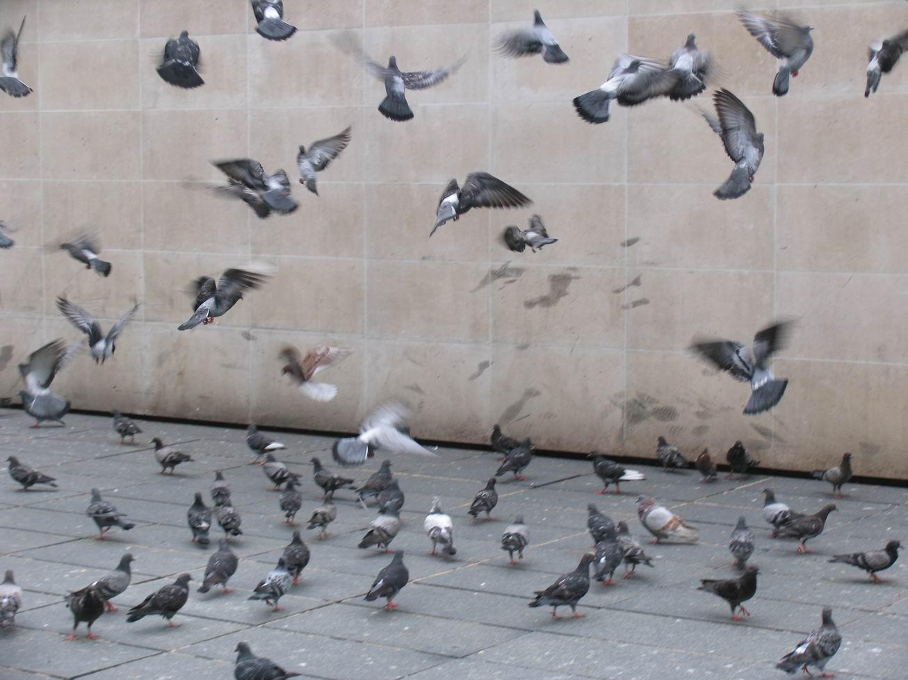 鸽子彩铅画步骤图