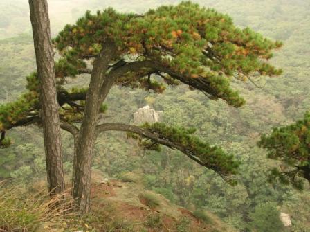 就在悬崖边山头上的松树下