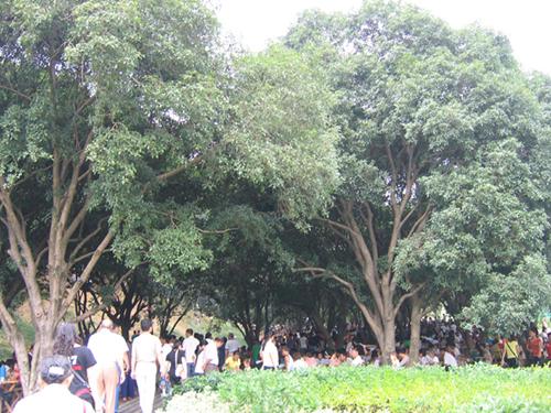 壁纸 树 榕树 500_375