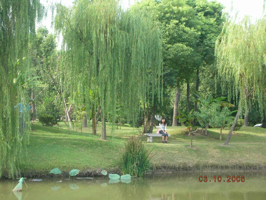 垂柳 柳树 树 1024_768
