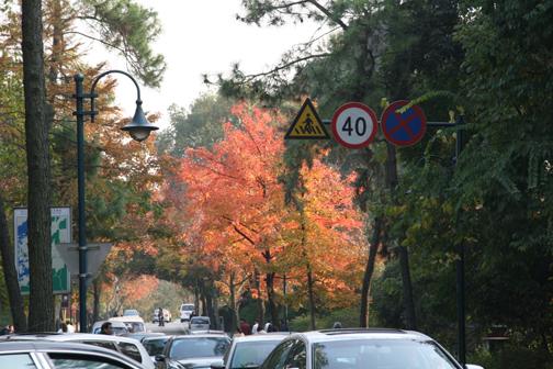 虎跑水杉  虎跑公园门口左右的水杉,一到秋天树叶变成了褐色,挺拔的