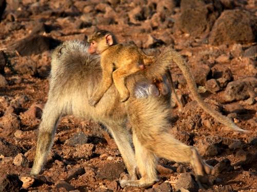 肯尼亚归来(九)--非洲动物的母子情