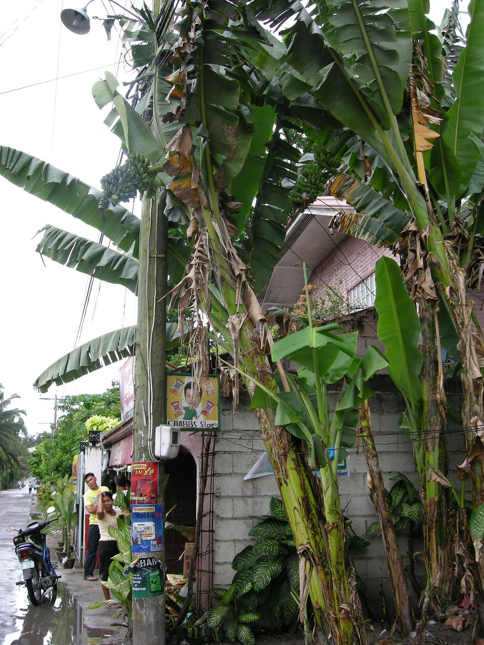 (路边的香蕉树)