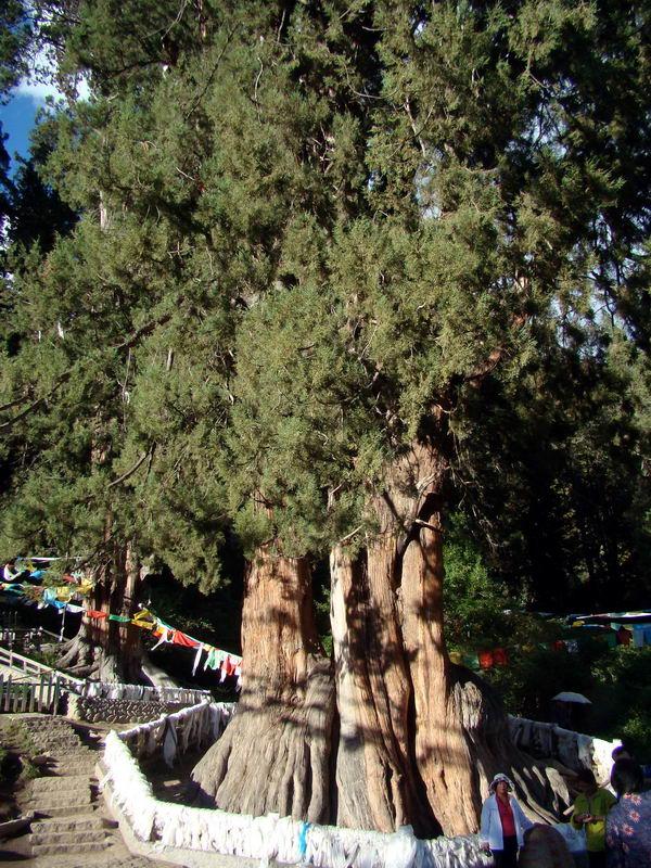 柏树种类名称及图解