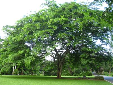 描写春天榕树的句子