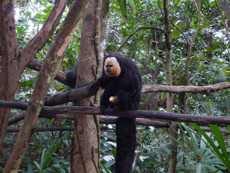 (新加坡动物园-白脸粗尾猴)