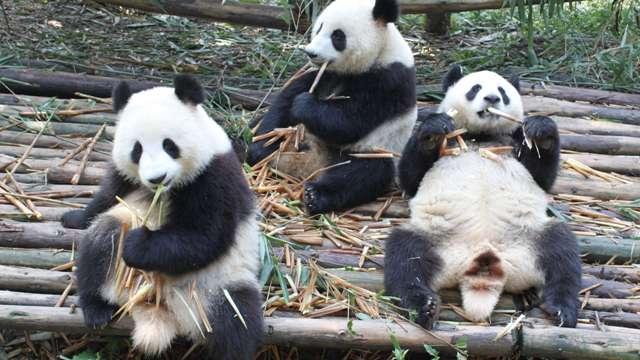 熊猫背影图片大全可爱